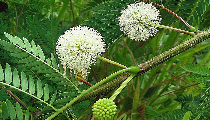 Guanacaste flower