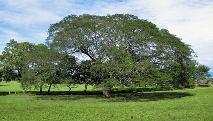Parota tree